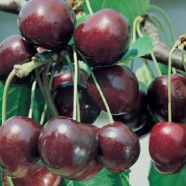 Ferivo arboles frutales cerezp picota for Arboles que no pierden sus hojas en otono